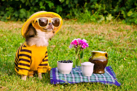 Chihuahua picnic in summer garden photo