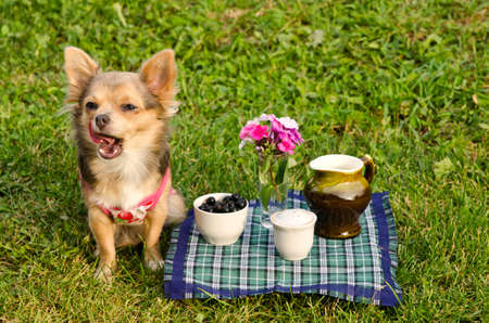 Yawning chihuahua puppy at the picnic in sunny summer park photo