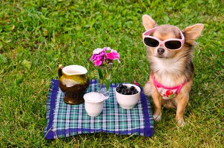 Little chihuahua dog wearing pink t-shirt relaxing in meadow picnic Stock Photo