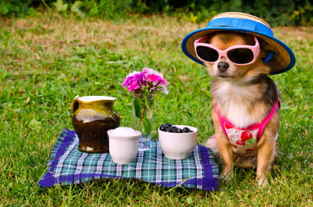 Tiny chihuahua dog wearing suit, straw hat and glasses relaxing in meadow Stock Photo