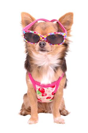 Chiot chihuahua porter des lunettes de soleil rose et t-shirt isolé sur fond blanc