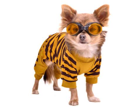 Chihuahua pup dragen gele pak en bril op een witte achtergrond