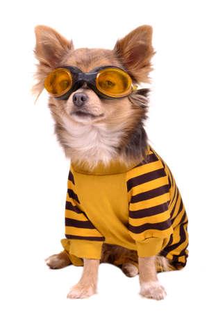 perros vestidos: Peque�a chihuahua perro que lleva traje y gafas aisladas sobre fondo blanco Foto de archivo