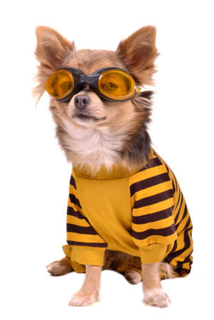 Small chihuahua dog wearing suit and goggles isolated on white background photo
