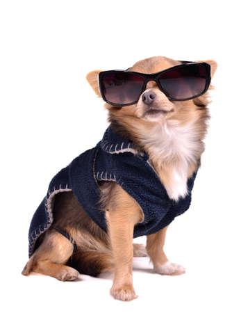 perros vestidos: Serio perro chihuahua llevaba chaqueta azul oscuro y gafas de sol negras, tiro del estudio