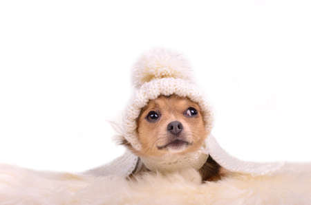 Chihuahua puppy looking up curiously, lying on white fluffy fur, isolated Stock Photo - 11693930
