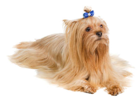 long silky hair: Yorkshire terrier with blue bow on white