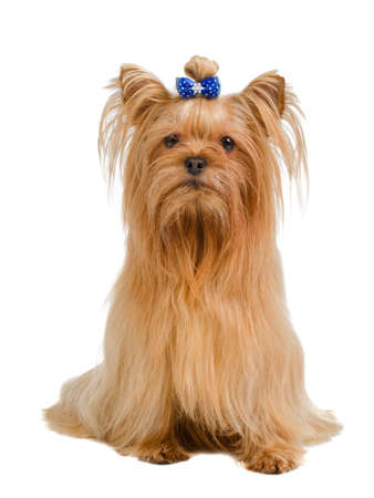 silky terrier: Sitting Yorkshire terrier with blue bow