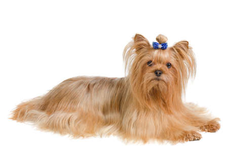 silky terrier: Yorkshire terrier with blue bow lying on white background Stock Photo