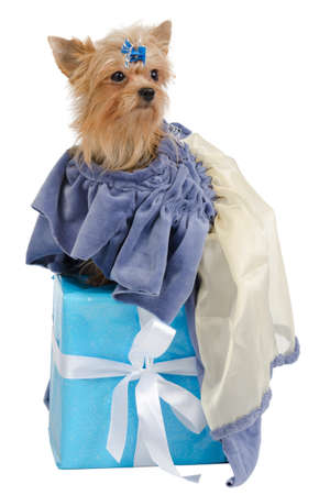 Elegant yorkshire terrier with old fashioned dress on a present box photo