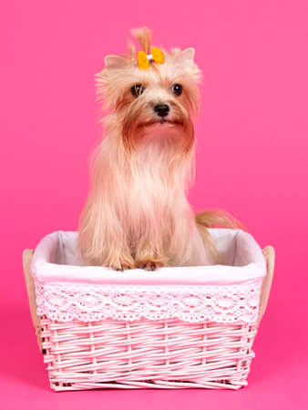Yorkshire terrier in a basket on pink background photo