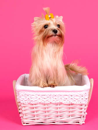 Yorkshire terrier with yellow bow inside the pink basket photo