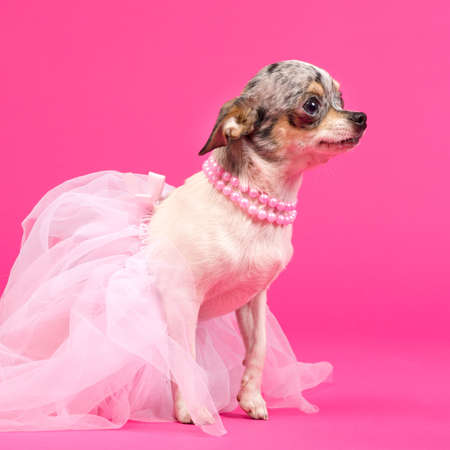 Chihuahua ballerina is ready to dance photo