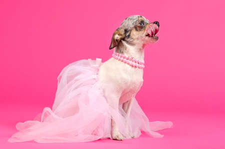 Chihuahua ballerina is hungry from dancing photo