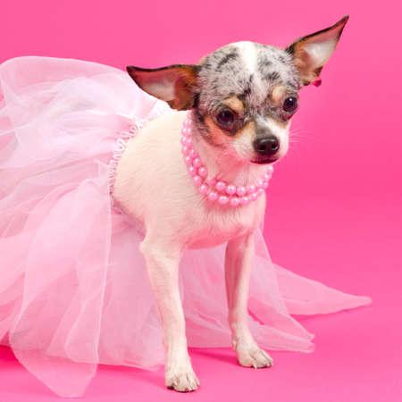 pompous: Tiny elegant Chihuahua dog Stock Photo