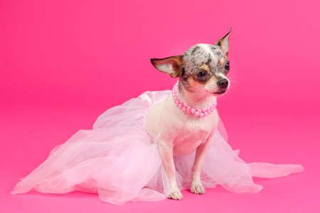 Adorable Chihuahua Dressed like ballerina dancer photo