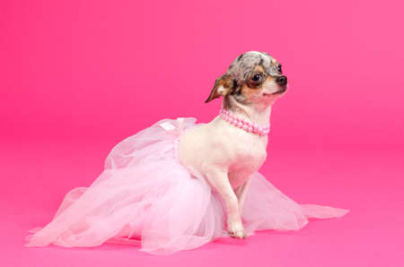 Shy Chihuahua ballerina is ready to go on stage on pink background photo
