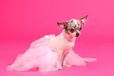 Chihuahua ballerina dog dancer on pink photo