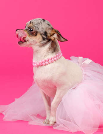 pampered pets: Portrait of glamour Chihuahua ballerina licking its nose