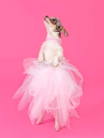 Elegant dog dancing isolated on pink background photo
