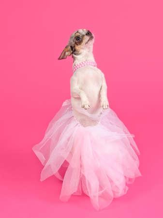 Glamour dog dancing, studio shot photo