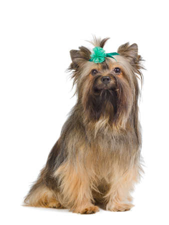 Portrait of Yorkshire Terrier with green bow photo