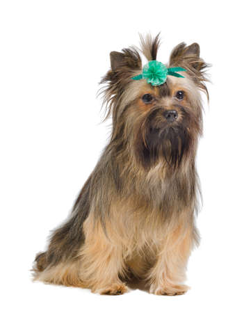 silky terrier: Sitting Yorkshire Terrier with green bow