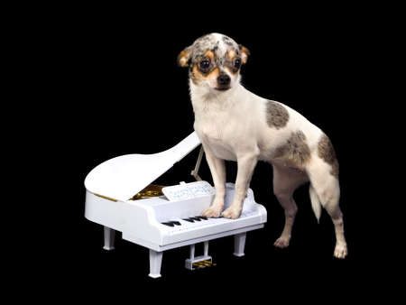 domestic scene: Chihuahua is playing on a white piano, isolated on black background