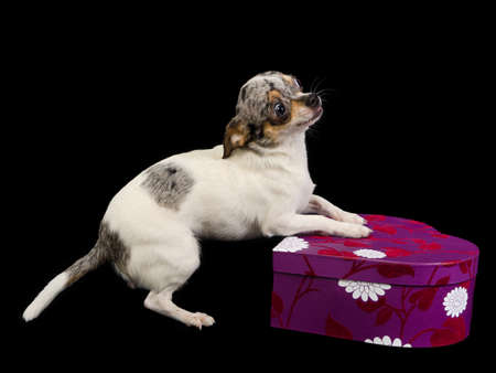 Tiny Chihuahua is playing with purple gift box photo