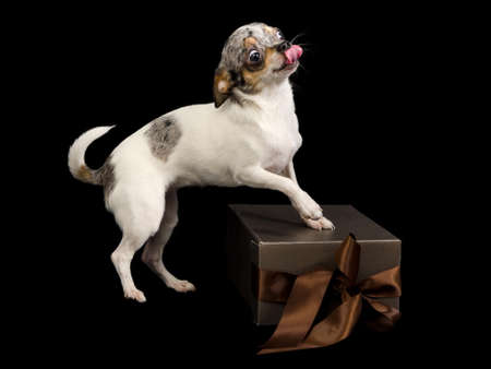 and guessing: Tiny Chihuahua on brown gift box