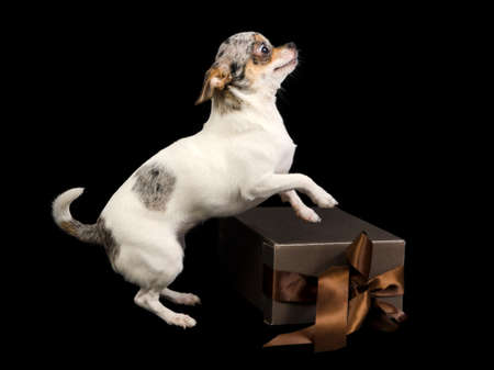 Chihuahua on a brown box with bow photo