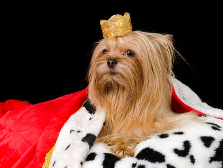 Royal dog with crown and gown, isolated on black photo