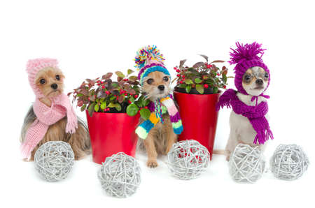 toy terrier: Three Christmas chihuahua dogs with winter scarfs and hats Stock Photo