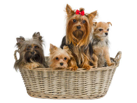 Four puppies in a basket - tree yorkshire terriers and chihuahua photo
