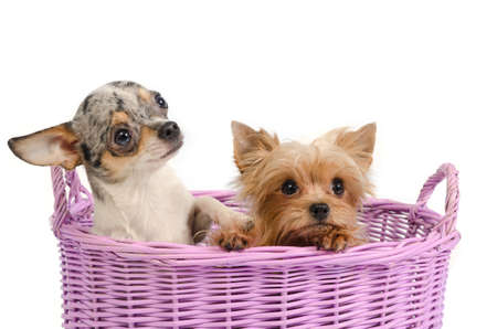 Two puppies in a basket - yorkshire terriers and chihuahua photo
