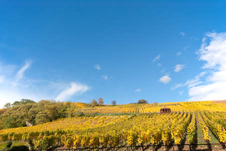 Vivid autumn colors on vineyard in Italy photo