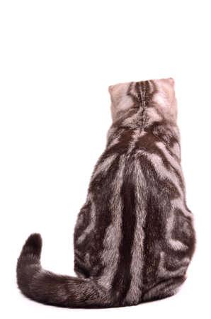 Scottish fold kitten back sitting, isolated on white background. photo