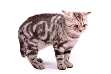 curve claw: Frightened scottish fold kitten has curved a back against white background Stock Photo