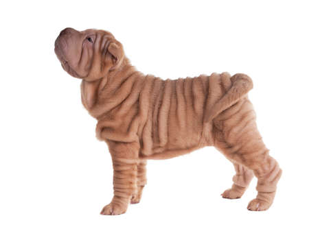 Sharpei puppy standing looking aside isolated photo