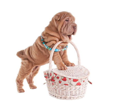 Sharpei puppy is getting ready to go on picnic isolated photo