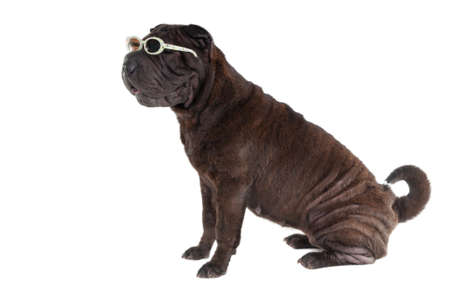 molosse: Puppy of Shar-Pei dog with glasses
