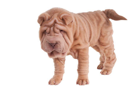 sharpei: Shar-pei puppy standing isolated on white background