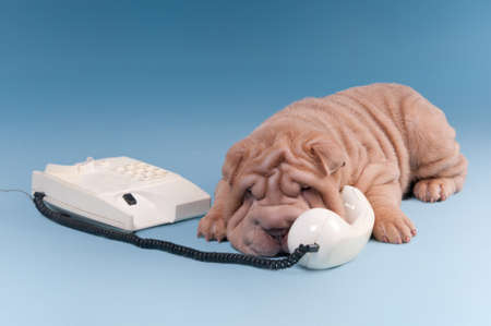Sharpei puppy arguing over the phone, isolated on blue background photo
