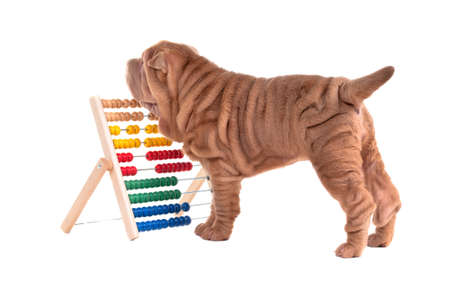 molosse: Playful shar-pei puppy and an abacus isolated on white background