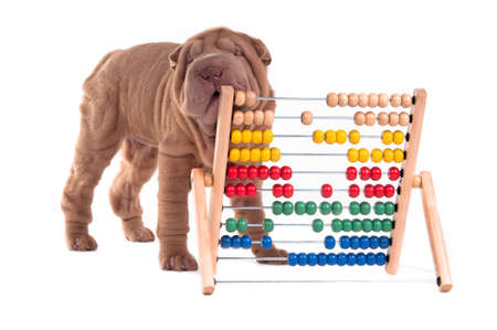 Shar-pei puppy is learning to count with Abacus, isolated on white background