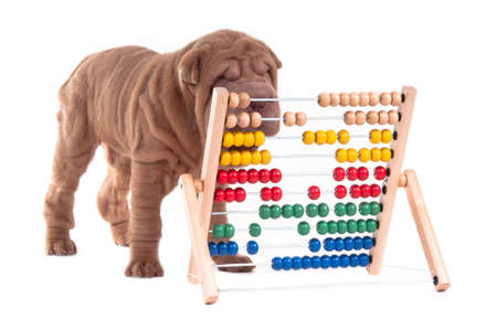 Sharpei puppy is learning how to count, isolated on white background photo