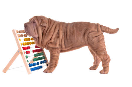 Sharpei puppy counting with abacus isolated on white background photo