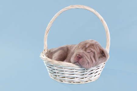 sharpei: Sharpei puppy is having a nap in a basket.
