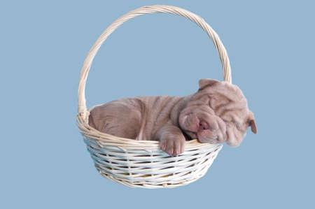 sharpei: Sharpei puppy sleeping sweatly in a handmade basket