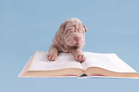 Shar-pei puppy is reading a fairytale. photo